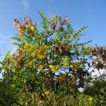 Kilikischer Blasenstrauch Colutea cilicica 03