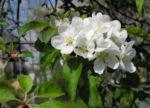 Bild:  Kirsch-Apfel Blüte weiß Malus prunifolia