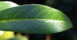 Kirsch Lorbeer Lorbeerkirsche Beeren schwarz Prunus Laurocerasus 03