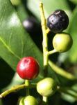 Kirsch Lorbeer Lorbeerkirsche Beeren schwarz Prunus Laurocerasus 09