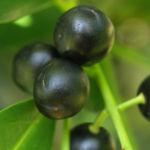 Kirsch Lorbeer Lorbeerkirsche Beeren schwarz Prunus Laurocerasus 11