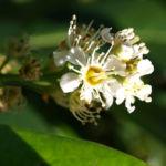 Kirsch Lorbeer Lorbeerkirsche Beeren schwarz Prunus Laurocerasus 15