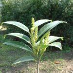 Kirsch Lorbeer Prunus laurocerasus 01