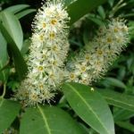 Kirsch Lorbeer Prunus laurocerasus 03