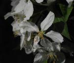 Kirschapfel Baum Bluete weiss Malus baccata 23
