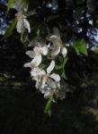 Kirschapfel Baum Bluete weiss Malus baccata 24