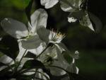 Kirschapfel Baum Bluete weiss Malus baccata 26