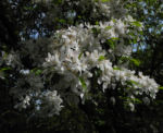 Kirschapfel Baum Bluete weiss Malus baccata 28
