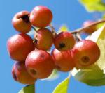 Kirschapfel Baum Frucht rot Malus baccata 04