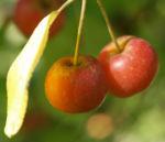 Kirschapfel Baum Frucht rot Malus baccata 05