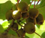 Kiwi Frucht braeunlich Blatt gruen Actinidia chinensis 10