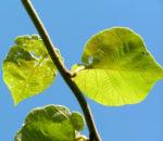 Kiwi Frucht braeunlich Blatt gruen Actinidia chinensis 12