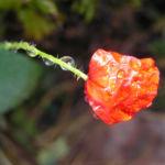 Klatschmohn Bluete rot Papaver rhoeas 02