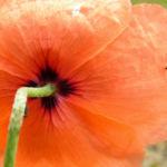 Klatschmohn Blume Bluete rot Papaver rhoeas 06