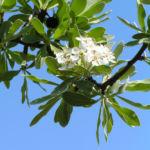 Kleinasiatische Birne Baum Bluete weiss Pyrus eleagnifolia 09