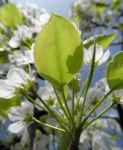 Kleinbluetige Birne Blatt gruen Pyrus calleryana 02
