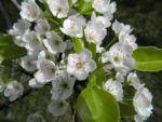 Kleinbluetige Birne Bluete weiß Pyrus calleryana 06