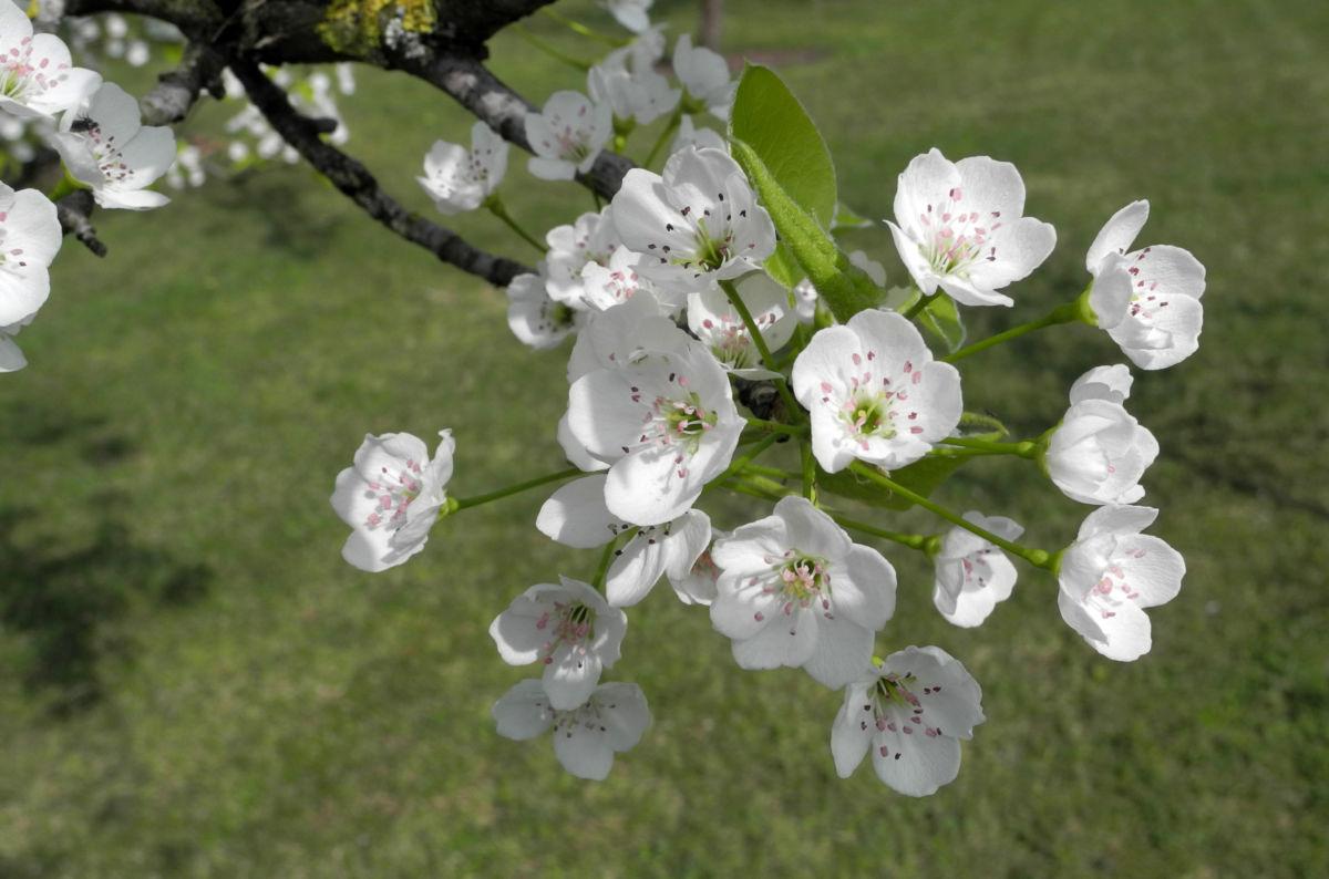 Kleinbluetige Birne Bluete weiß Pyrus calleryana