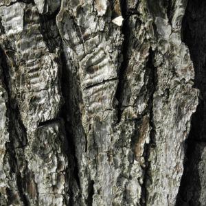 Kleinbluetige Birne Rinde grau Pyrus calleryana 01