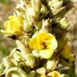 Kleinbluetige Koenigskerze Bluete gelb Verbascum thapsus 02