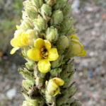 Kleinbluetige Koenigskerze Bluete gelb Verbascum thapsus 04