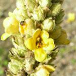 Kleinbluetige Koenigskerze Bluete gelb Verbascum thapsus 05