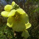 Kleinbluetige Koenigskerze Bluete Verbascum thapsus 01