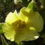 Kleinbluetige Koenigskerze Bluete Verbascum thapsus 04