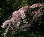 Kleinbluetige Tamariske Strauch Bluete pink Tamarix parviflora 03