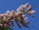 Kleinbluetige Tamariske Strauch Bluete pink Tamarix parviflora 04