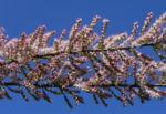 Kleinbluetige Tamariske Strauch Bluete pink Tamarix parviflora 05