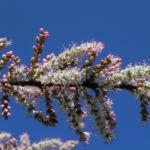 Kleinbluetige Tamariske Strauch Bluete pink Tamarix parviflora 06
