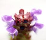Bild:  Kleine Brunelle Blüte lila Prunella vulgaris