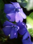 Kleines Immergruen Bluete blau Vinca minor 01