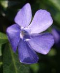 Kleines Immergruen Bluete blau Vinca minor 02