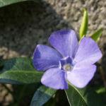 Kleines Immergruen Bluete blau Vinca minor 03