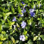 Kleines Immergruen Bluete hellblau Vinca minor 01