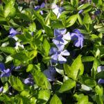 Kleines Immergruen Bluete hellblau Vinca minor 02