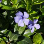 Kleines Immergruen Bluete hellblau Vinca minor 03