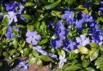 Kleines Immergruen Bluete hellblau Vinca minor 04