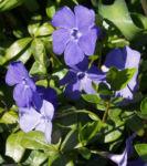 Kleines Immergruen Bluete hellblau Vinca minor 05