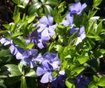 Kleines Immergruen Bluete hellblau Vinca minor 06