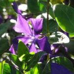 Kleines Immergruen Bluete lila Vinca minor 01