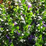 Kleines Immergruen Bluete lila Vinca minor 06