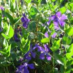 Kleines Immergruen Bluete lila Vinca minor 07