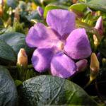 Kleines Immergruen Bluete lila Vinca minor 11