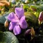 Kleines Immergruen Bluete lila Vinca minor 13