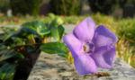 Kleines Immergruen Bluete lila Vinca minor 18