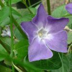 Kleines Immergruen hellblau Vinca minor 01