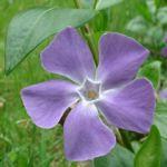 Kleines Immergruen hellblau Vinca minor 02